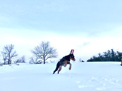 3/52 Queenie 14 weeks, after the snowstorm!!!  Excited with so much snow to play in. (Broadway Dobermans & Poodles) Tags: puppyplay puppy blizzard snow doberman 52weeksfordogs