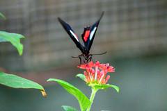 butterflies2020-54 (gtxjimmy) Tags: nikonz50 nikon z50 butterflies magicwings insects insect deerfield massachusetts newengland