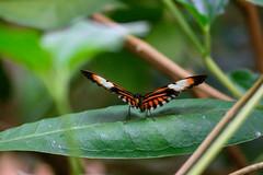butterflies2020-53 (gtxjimmy) Tags: nikonz50 nikon z50 butterflies magicwings insects insect deerfield massachusetts newengland