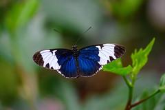 butterflies2020-52 (gtxjimmy) Tags: nikonz50 nikon z50 butterflies magicwings insects insect deerfield massachusetts newengland