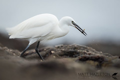 Little egret (Matt Hazleton) Tags: littleegret egret egrettagarzetta bird wildlife nature animal outdoor canon canoneos7dmk2 canon500mm 500mm eos 7dmk2 matthazleton matthazphoto falmouth cornwall