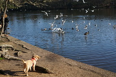 seagullls fighting over food on Black Park lake while a puppy keenly on. (Wacky Racers Photography) Tags: black park lake seagulls puppy
