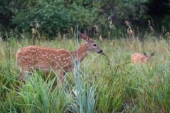 Just a Nibble (Randy R...) Tags: fawn d7500 deer whitetaildeer mammal nikon nature field grass dawn animalplanet