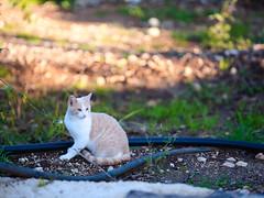 GFX3024 - Luke (Diego Rosato) Tags: luke gatto cat animal animale pet stray randagio giardino garden fuji gfx50r fujinon gf110mm rawtherapee