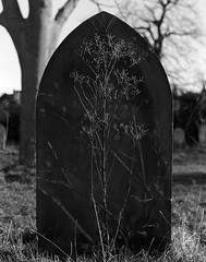 Tumba floreciente (RoryO'Bryen) Tags: 4x5 largeformat film analoguephotography roryobryen copyrightroryobryen cambridge