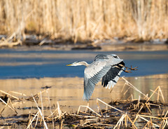 Great Blue Heron in Flight. (swmartz) Tags: nikon nature newjersey wildlife outdoors heron blue great birds water hamilton trentonmarsh trenton mercercounty 2020 january 200500mm