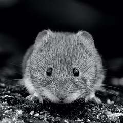 Bank Vole in Black & White (legoman1691) Tags: bankvole vole nature wildlife mammal naturephotography wildlifephotography blackandwhite blackwhite