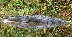 ∀ɯǝɹᴉɔɐu ∀llᴉƃɐʇoɹ (Shannon Rose O'Shea) Tags: shannonroseoshea shannonosheawildlifephotography shannonoshea shannon americanalligator alligator gator animal alligatormississippiensis reflection leaves flowers nature wildlife reptile lakeapopkawildlifedrive apopka florida flickr smugmug wwwflickrcomphotosshannonroseoshea outdoors outdoor outside colorful colourful colors colours art photo photography photograph wild wildlifephotography wildlifephotographer wildlifephotograph femalephotographer girlphotographer womanphotographer shootlikeagirl shootwithacamera throughherlens canongirl justagirlwithacamera camera closeup close canon canoneos80d canon80d canon100400mm14556lisiiusm eos80d eos 80d canon80d100400mmusmii 2019 3282 naturephotographer water lake