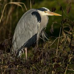 Ardea Cinerea (Ouwesok) Tags: sonyslta77 sigmaapo563150500mmdgoshsm ardeacinerea blauwereiger vogel bird nature outdoor natuur natuurparklelystad