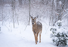 Here she comes! (Nancy Rose) Tags: whitetaileddeer deer doe snow snowing wods nature outdoors animal snowcovered eyes nr20200119ilce7m302545 sonya73