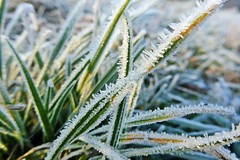 cold morning... (green_lover (your COMMENTS are welcome!)) Tags: grass hoarfrost frost winter macro cold white diagonal nature lookingcloseonfriday winterflora