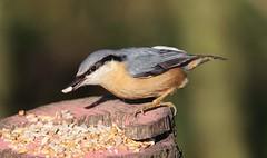 Nuthatch (Geofkhan) Tags: nuthatch birds wildbirds middleton