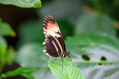 butterflies2020-50 (gtxjimmy) Tags: nikonz50 nikon z50 butterflies magicwings insects insect deerfield massachusetts newengland