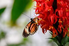 butterflies2020-45 (gtxjimmy) Tags: insect nikon butterflies insects deerfield magicwings z50 nikonz50 massachusetts newengland