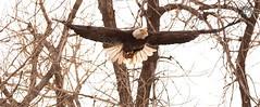January 16, 2020 - A bald eagle takes flight. (Jessica Fey)