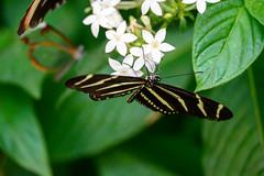 butterflies2020-43 (gtxjimmy) Tags: nikonz50 nikon z50 butterflies magicwings insects insect deerfield massachusetts newengland