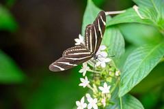 butterflies2020-42 (gtxjimmy) Tags: nikonz50 nikon z50 butterflies magicwings insects insect deerfield massachusetts newengland