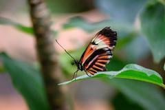 butterflies2020-41 (gtxjimmy) Tags: nikonz50 nikon z50 butterflies magicwings insects insect deerfield massachusetts newengland