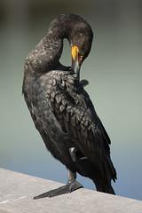 Cormorant preening (vguzman1120) Tags: cormorant bird birds floridabirds everglades wildbirds nature naturephotography nikon d500 nikkor