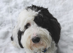 Murph (alyssaizzy) Tags: dogs winter snow sheepadoodle poodle sheepdogs puppy