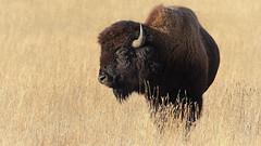 Buffalo hiding in tall grass (SeattleClick Photography) Tags: buffalo buffaloes americanbison american bison animal animals wildlife plain plains wyoming montana grass grasses west western icon iconic yellowstone yellowstonenationalpark nationalpark nationalparks
