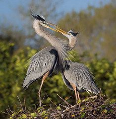 Love is in the air. Great Blue Herons in mating ritual. Wakodahatchee Wetlands, Delray Beach, Florida. (pedro lastra) Tags: panasonic leica dg varioelmar 100400mm f463 asph g9 lumix dcg9 mirrorless micro four thirds