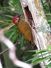 Este carpintero cariblanco macho abre un boquete en una guadua (bambú gigante) la cual picotea con asiduidad para ubicar en ella hormigas, termitas, larvas o escarabajos. (cirestrepo) Tags: carpinterocariblanco goldenolivewoodpecker colaptesrubiginosus ave aves avescolombia avescolombianas avesdecolores avesdelosandes avesdeantioquia avecolombiana avesdeamérica avesdesuramérica pájaros pajaros pájaro birds bird colombianbirds andeanbirds birding birdwatching birdattraction birdlovers wildbirds backyardbirding birdbasics tropicalbirds birdingcolombia colombiabirding piciformes picidae carpintero pájarocarpintero woodpecker piculus piculusrubiginosus