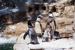 St. Louis Zoo, Missouri, Summer 2019 (fandarwin) Tags: st louis zoo missouri summer 2019 penguin exhibit darwin fan fandarwin olympus omd em10