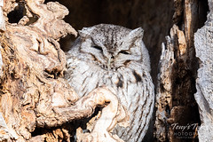 January 19, 2020 - A cool eastern screech owl in Arvada. (Tony's Takes)