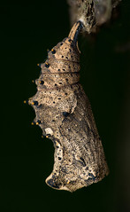 Lepidoptera (cf. Nympahlidae), pupa (Benjamin Fabian) Tags: lepidoptera butterfly pupa schmetterling puppe macro makro close up sony sel90 a6000 flash nissin arthropoda arthropod hexapod hexapoda insect insecta insekt