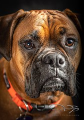 82266997_10163053977155341_655243702486171648_o (Stephen Fralick) Tags: dog pet boxer
