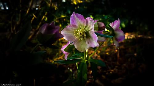 The Lenten Rose.