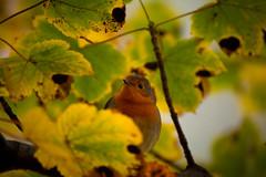 Into the Woods (jemmawalton) Tags: bird robin avian animal woodland tree branch leaf leaves