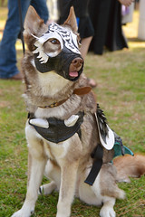 Ready with his armor (radargeek) Tags: 2019 april norman normanmedievalfaire2019 medievalfair oklahoma costume dog