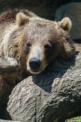 Grizzly Bear, St. Louis Zoo, Missouri, Summer 2019 (fandarwin) Tags: bear summer st zoo louis fan darwin olympus exhibit missouri 2019 fandarwin omd em10 grizzly