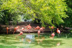 St. Louis Zoo, Missouri, Summer 2019 (fandarwin) Tags: st louis zoo missouri summer 2019 flamingo exhibit darwin fan fandarwin olympus omd em10