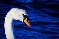 Wet Swan (sebalehm) Tags: natur schwan tier vogel