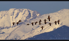 Rockies and Canada (Geese) (ctofcsco) Tags: 11250 20x 2x 7d 7dclassic 7dmark1 7dmarki 800mm aperturepriorityae canon canonef400mmf28lusm colorado didnotfire digital ef2x ef2xii ef400mmf28liiusm20x eos eos7d esplora explore explored extender f80 flashoff iso100 photo pic pretty renown spot supertelephoto teleconverter telephoto unitedstates usa 2018 alamosa birds cranes image landscape migration montevista montevistanwr nationalwildliferefuge nature northamerica photograph picture sanluisvalley sandhillcrane sandhillcranefestival spring wildlife wwwmvcranefestorg