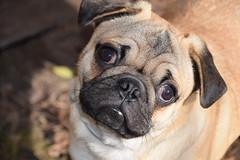 Elvis Pugsley (Tobyotter) Tags: elvis pug puppy