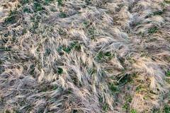 Photo of Dune Grass
