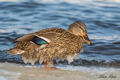 Colvert (femelle) - Mallard (female) (Lucie.Pepin1) Tags: birds oiseaux canard duck nature wildlife faune fauna eau water luciepepin canon7dmarkii canon300mml