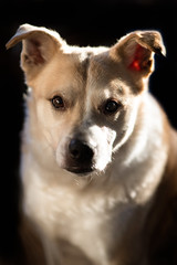 Romme (MichellePhotos2) Tags: romme enjoying sun today norwegianbuhund norwegian buhund dog pet canine puppy michigan nikon d850 nikond850 portrait prime 85mm