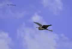 Little blue heron (Mike_FL) Tags: littleblueheron nikon nikond7500 bird tamron100400 floridawildlife floridabirdingtrail wildlife photograph park flight wetlands wakodahatcheewetlands birdinflight