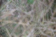 dewy spider web (Juhele_CZ) Tags: pavlov moravia czechrepublic walk vineyards wine fog misty nature rocks mountains forest wood meadow