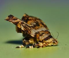 Mandalay Metal mark Moth Choreutis sp aff periploca Choreutidae Mandalay rainforest Airlie Beach P1200537 (Steve & Alison1) Tags: mandalay metal mark moth choreutis sp aff periploca choreutidae rainforest airlie beach