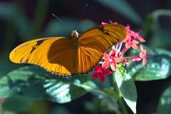 Julia Heliconian (sr667) Tags: florida usa dryasiulia bonitasprings butterfly animalia arthropoda insecta lepidoptera nymphalidae dryas us juliaheliconian macro 100mm canon
