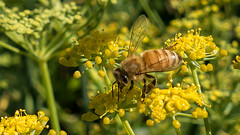 New Zealand honey bee on wild fennel (ROGERBEE.) Tags: newzealand insects bees honeybees