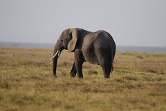 African Elephant (Loxodonta africana), Amboseli NP, Kajiado County, Kenya (West Tribe) Tags: amboseli kenya eastafrica africa africanelephant elephant marsh