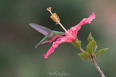 Chlorostilbon lucidus (Gabriel Paladino Photography) Tags: picaflorcomún esmeraldaventidorada esmeraldaventridorada picaflorverdecomún beijaflordebicovermelho besourinhodebicovemelho besourinhodebicovermelho esmeraldadebicovermelho colibrìsmeraldoventredorato smeraldopancialuccicante hummingbird colibri picaflor flor flower chordata apodiformes trochilidae zumbadores colibrí colibríes quindes tucusitos picaflores chupamirtos chuparrosas huitsitsili mainumby guanumby salinas canelones animal ave pajaro bird ventidorada ventridorada fauna anifeiliaid animale annimali anụmanụ besto bèt biby chinyama dabba dier dierlijk djur vật dýr dzīvnieks eläin eranko gyvūnas haiwan kafshë kararehe kewan loom uruguay aves animalia gabrielpaladinoibañez