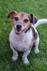 Week 11 (jessicajoy2) Tags: buster week11 12yearsold dog jackrussell summer 2019 home smile